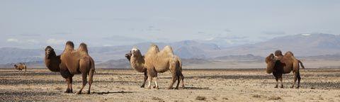 Верблюды монгольские степь